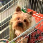 Посетители с маленькими собачками в продуктовых магазинах. Как к ним относиться.